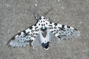 Giant-Leopard-Moth
